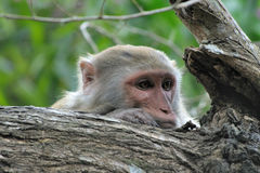 Monkey longing. Sad monkey on a tree Stock Photos