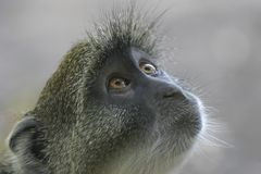 Monkey Look Royalty Free Stock Photos