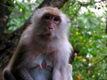 Monkey look for camera Royalty Free Stock Images