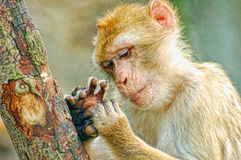 Monkey look at fingers Stock Image
