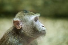 Monkey look on right. The monkey look on right royalty free stock photo