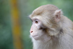The monkey Royalty Free Stock Photography