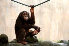 Monkey Looking royalty free stock photo