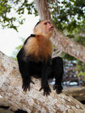 Monkey looking Royalty Free Stock Photography