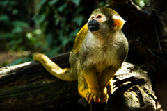 Monkey looking above. A little squirrel monkey looking above Royalty Free Stock Photos