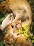 Monkey looking after baby Royalty Free Stock Photo