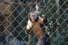 A monkey with a banana royalty free stock images