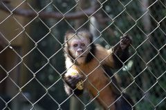 A monkey with a banana royalty free stock photo