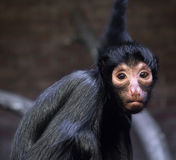 The monkey looking at the camera Stock Photography