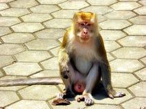 Monkey staring at the camera at Batu caves Royalty Free Stock Photo