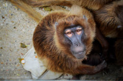 Monkey looking at camera Stock Images