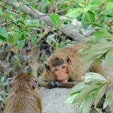 Monkey looking at camera Royalty Free Stock Image