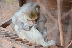 Monkey looking for fleas Stock Photography