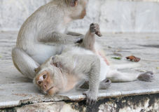 Monkey looking for fleas and ticks. In forest Royalty Free Stock Images