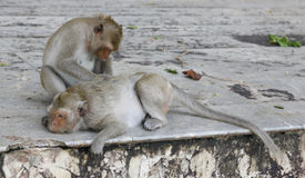 Monkey looking for fleas and ticks. In temple Stock Photos