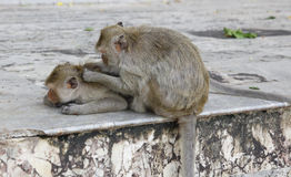 Monkey looking for fleas and ticks. In temple Royalty Free Stock Photos