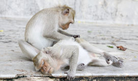 Monkey looking for fleas and ticks. In temple Stock Photography