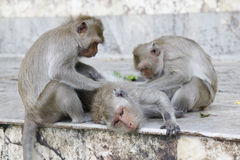 Monkey looking for fleas and ticks in temple Royalty Free Stock Image