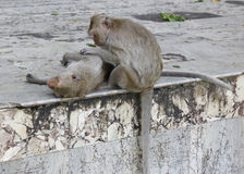 Monkey looking for fleas and ticks. In temple Stock Image