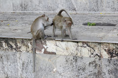 Monkey looking for fleas and ticks. In temple Royalty Free Stock Images