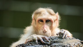 Monkey looking at human Royalty Free Stock Images