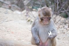 Monkey looking at its food Stock Image