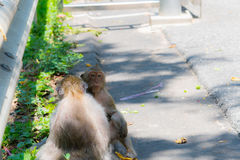 Monkey is looking for lice Royalty Free Stock Photos
