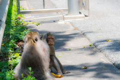 Monkey is looking for lice Royalty Free Stock Image