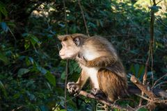 Monkey looking somewhere while sitting on the tree. In Sri Lanka Stock Photo