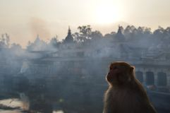 A monkey looking up with the temples, ghats and smoke of Pashupatinath, Kathmandu, Nepal. stock image