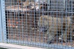 Monkey looking through zoo Stock Image