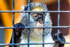 Monkey looking through zoo cell Stock Photos