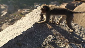 Monkey looks around at dawn sitting on a rock in mountains stock footage