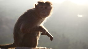 Monkey looks around at dawn sitting on a rock in mountains stock video footage