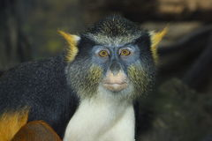 Monkey. Looks at the camera Royalty Free Stock Image