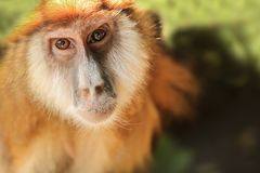 The monkey looks at the camera Royalty Free Stock Image