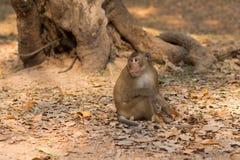 A Monkey Looks for Handouts near Angkor Wat, Cambodia Royalty Free Stock Image