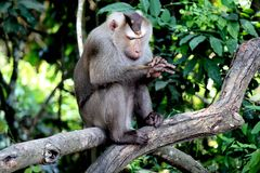 Monkey. That looks suspicious, sitting on a tree in the forest on Khao Yai National Park.thailand Royalty Free Stock Photo