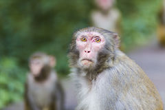 Monkey looks at tourists in Zhangjiajie National Forest Park. Monkey stare at tourists with curiousity Stock Photo