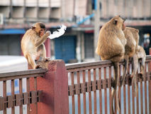Monkey in Lop Buri Province Royalty Free Stock Image