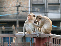 Monkey in Lop Buri Province Royalty Free Stock Images
