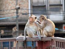 Monkey in Lop Buri Province Royalty Free Stock Photo