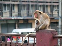 Monkey in Lop Buri Province Stock Image