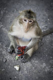 Monkey in Lopburi Stock Photography