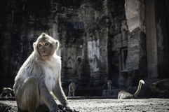 Monkey in Lopburi Royalty Free Stock Image