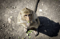 Monkey in Lopburi Royalty Free Stock Photography