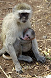 Monkey love. Breast feeding monkey with youngster Royalty Free Stock Photo