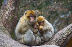 Monkey Love. A barbary macaque monkey mother feeding, sharing, and hugging and her two babies Stock Photos