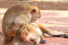 Monkey with love   Macaca fascicularis Stock Images
