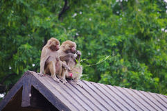 Monkey love. Sitting on the roof of a monkey to eat together Royalty Free Stock Photography